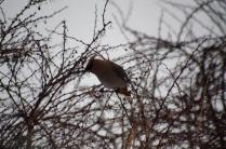 Barberry offers a feed for this Cedar Waxwing