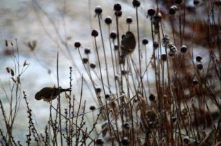 American Goldfinch don't mind swinging as they feed