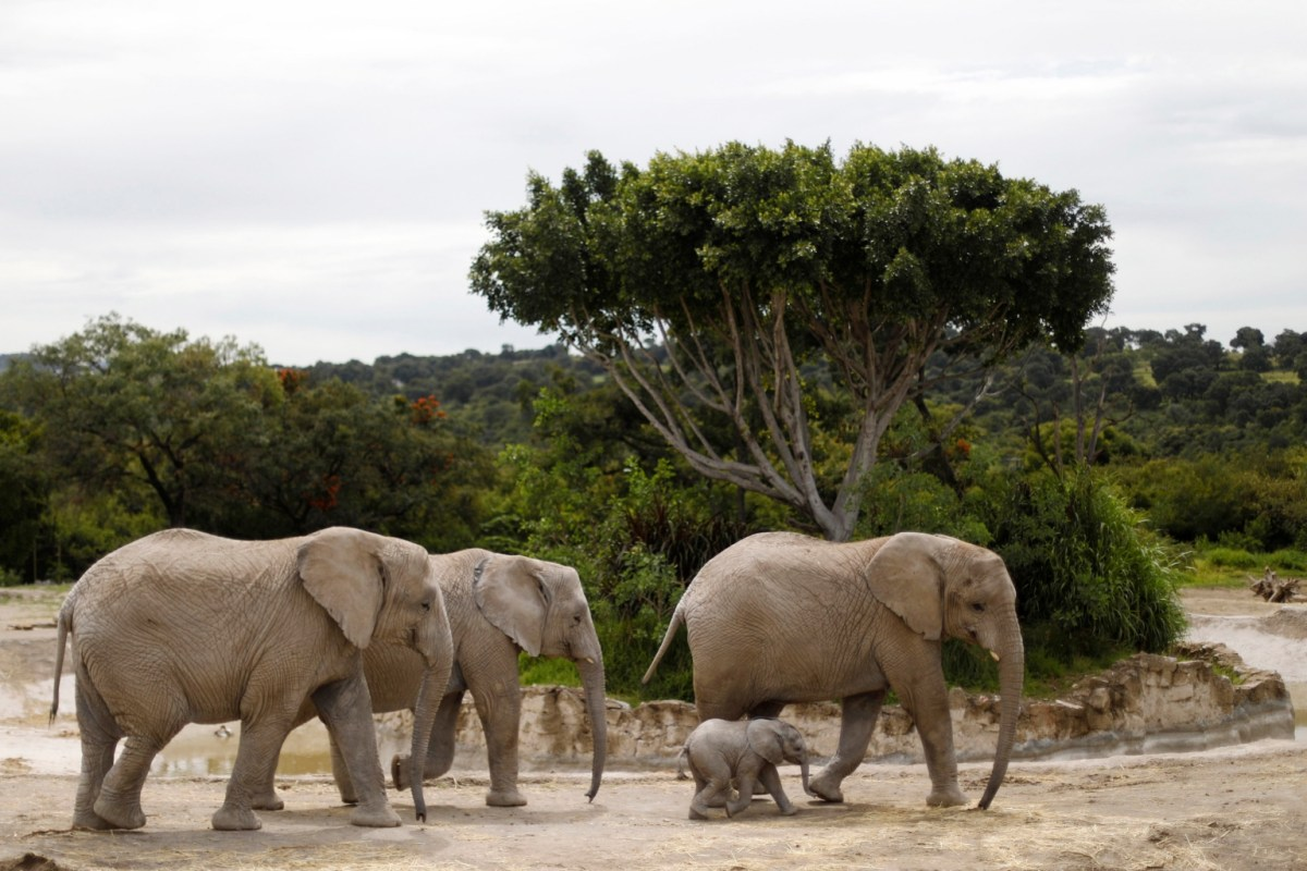 A Two Month Old Unnamed Male Baby Elephant Walks With His Herd At The Africam Safari Zoo In Puebla