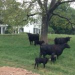 Fall calves on the pasture
