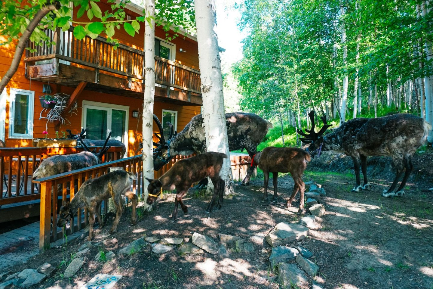At Fairbanks, Alaska's Running Reindeer Ranch you can frolic and pet reindeer, even babies!