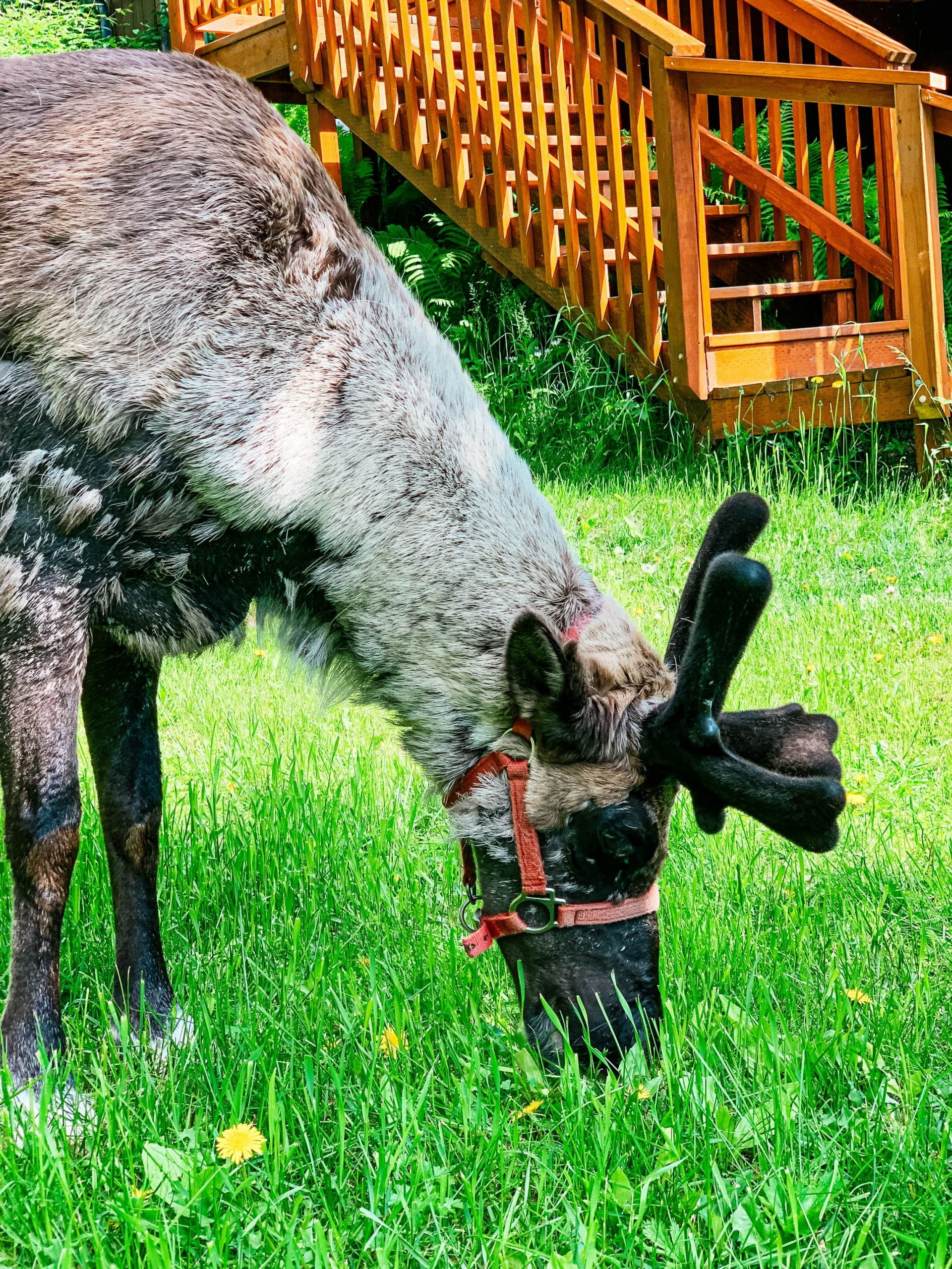 At Running Reindeer Ranch you can frolic with reindeer, even babies!