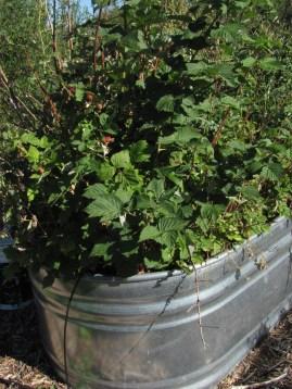 2016-6a raised beds 3 raspberries