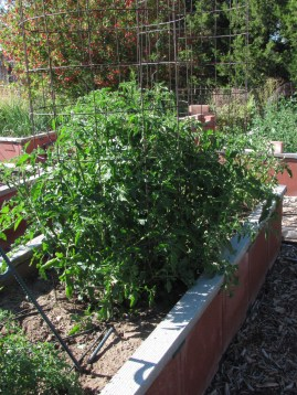 2016-6a raised beds 4 tomato