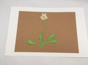 herbier en papier paquerette entiere