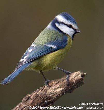 Belles images de mésanges (oiseaux)