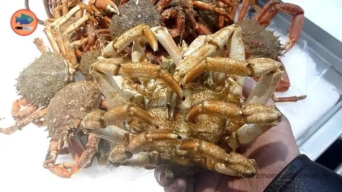 crabe araignee de mer