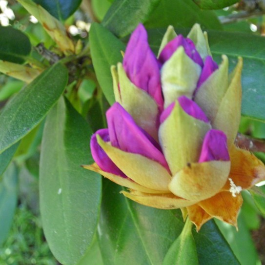 2105 Rhododendron 02