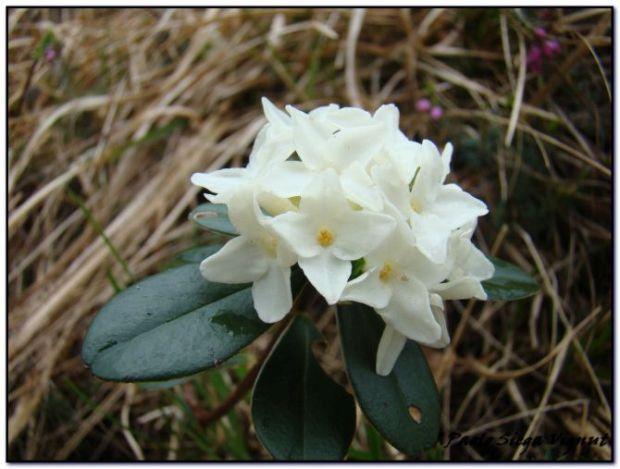 Festa delle erbe e del benessere Daphne blagayana tn
