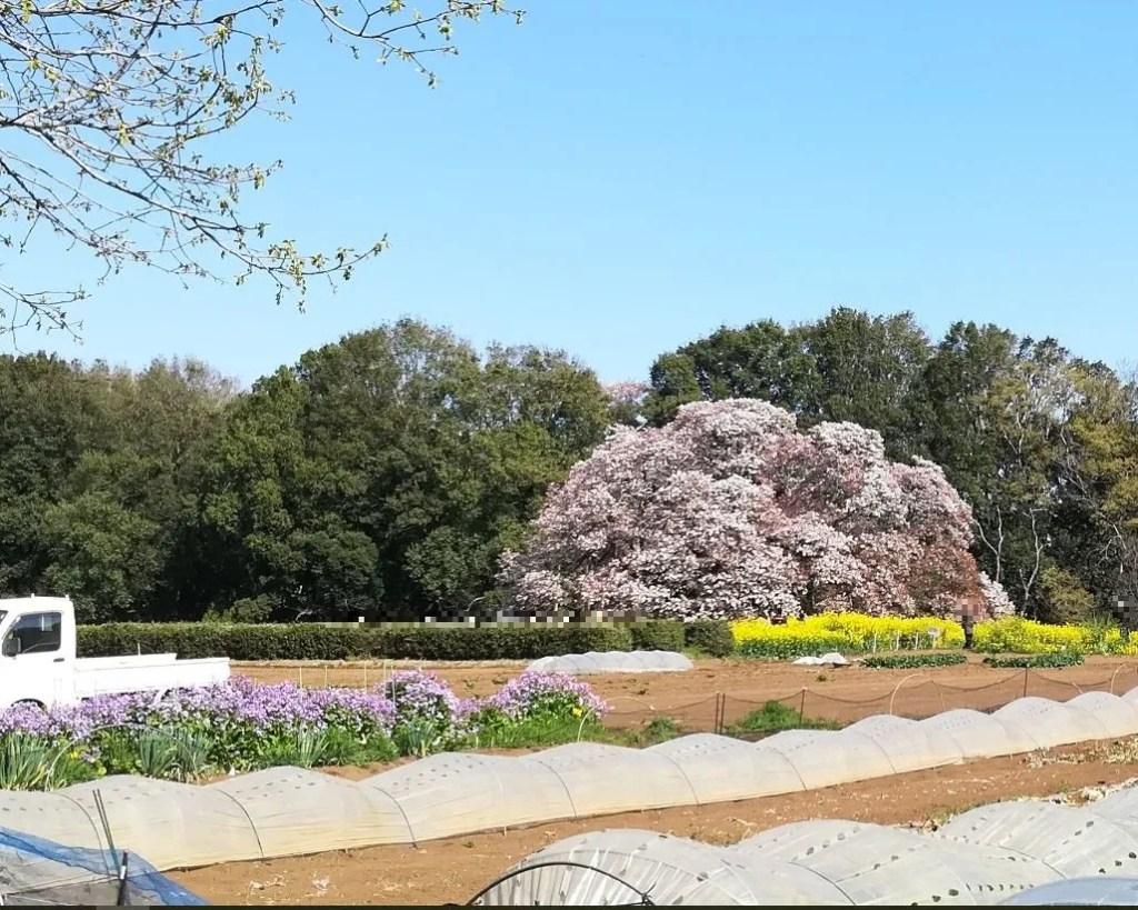 2019/04/13 吉高大桜、遠目で。