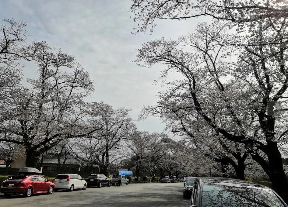 2020年の千葉ニューの桜。01