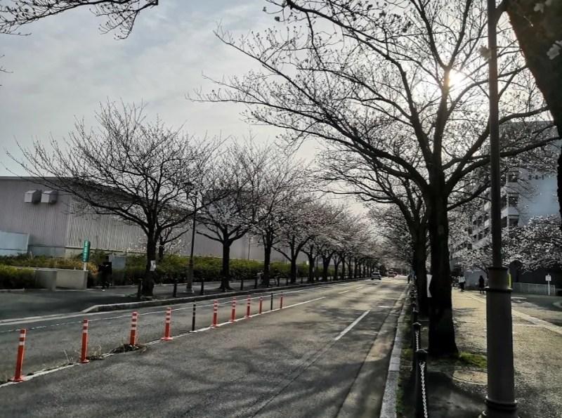 2020年の千葉ニューの桜。06