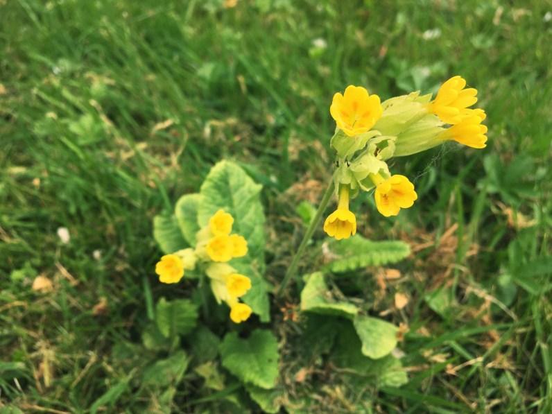 Fleurs de coucou