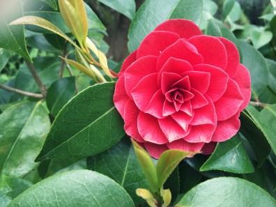 Fleur de camélia de Maman