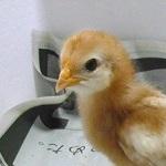 長年の不眠症が改善したキッカケは鶏の孵化⁈私の体験談まとめ