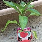 使い終わった培養土を復活剤で再利用!赤パプリカを植え付けました