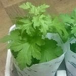 小菊のソフィアと羽子板の苗を購入。植えつけ・摘心のやり方など