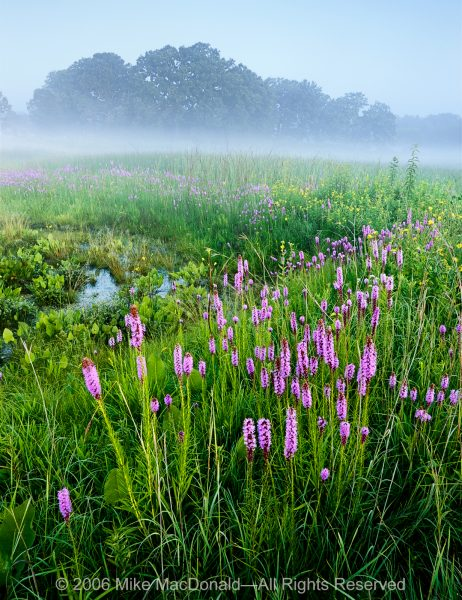 Blazing star blooms at the seep of the fen at Bluff Spring Fen in Elgin, Illinois.