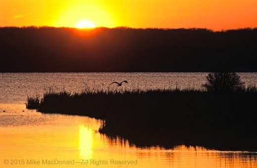 A great blue heron takes flight as the sun sets over Saganashkee Slough in Palos Hills, Illinois