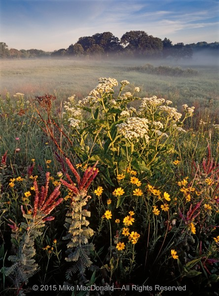 In the golden light of morning, wild quinine, stiff coreopsis, and leadplant overlook the foggy fen from atop the reconstructed kame and the remnants of Healy Road Prairie transplanted here at Bluff Spring Fen in Elgin, Illinois.