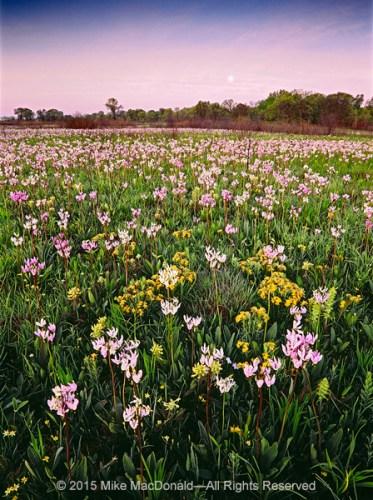 Springtime wildflowers bloom en masse at Chiwaukee Prairie in Pleasant Prairie, Wisconsin