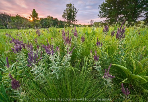 It was a very dry year in Chicago, yet you wouldn't know it from looking at this scene. The purple plant in this panorama is leadplant, which can search for water fifteen feet below the arid surface. Other drought-tolerant species seen here include prairie dropseed and wild quinine, in the front; and farther out, prairie dock, compass plant, and rattlesnake master.*