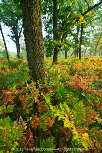 In the September savanna at Hoosier Prairie, ferns begin to change color before the trees.