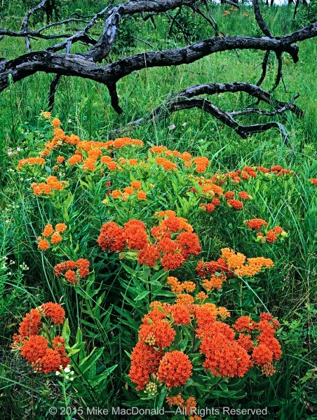 Butterfly milkweed (or butterfly weed) blooms in the black oak savanna at Illinois Beach Nature Preserve in Zion, Illinois.*