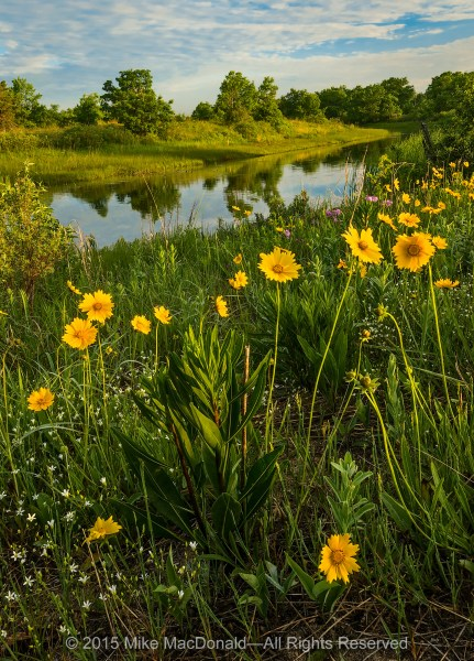 In a celebration of life, blooms of sand coreopsis spread with golden joy along the banks of the Dead River at Illinois Beach Nature Preserve in Zion.*