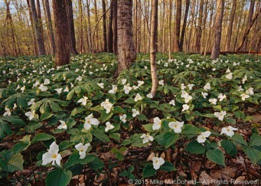 In May, large-flowered white trillium cover the woodland floor at Heron Rookery Trail at Indiana Dunes National Lakeshore.*