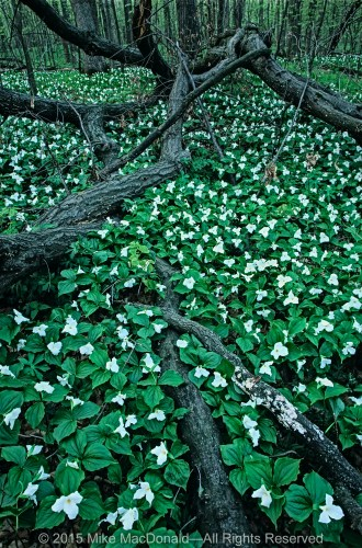 White trillium carpet the woodland floor at Messenger Woods in Homer Glen, Illinois.
