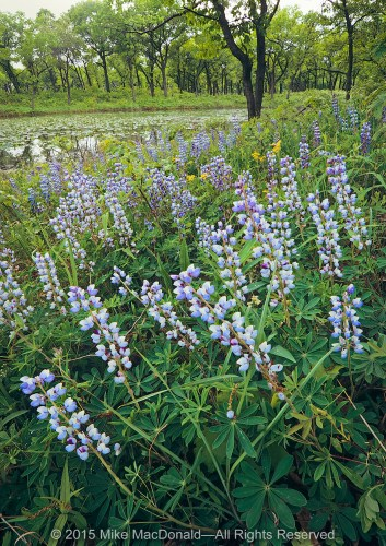 This scene is an example of the dune and swale habitat located at the southern half of the preserve. Upon this dune thrives wild lupine, the favorite flower of the federally endangered Karner blue butterfly. Just beyond the floral display is the swale where a pond has formed.