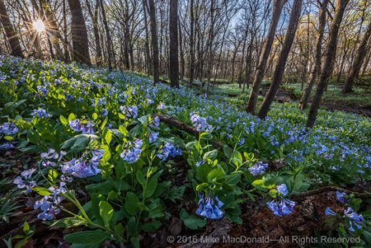 At O'Hara Woods in Romeoville, Illinois, the April sun rises to warm the springtime woodland brimming with Virginia bluebells.*