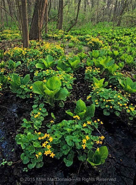 In early spring, I come to Pilcher Park to play in the mud. Here, skunk cabbage and marsh marigold thrive in a woodland floodplain of inky water and the blackest muck I've ever seen.