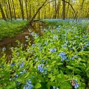 Chicago Spring Wildflower Report & News – 05/03/2019