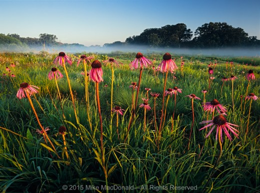 Pale purple coneflowers rise above the prairie at Bluff Spring Fen in Elgin, Illinois.