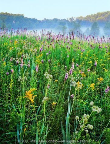 Here in late July at Spears Woods, wildflowers float above the prairie like musical notes in a symphony of color and texture.