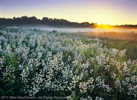 At Bluff Spring Fen in Elgin, Illinois, pearl blossoms of foxglove beardtongue catch the morning rays and a new day awakens—one as splendid and picturesque as any place on Earth.