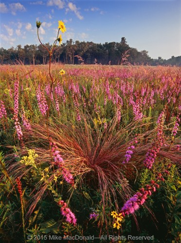 Compared to the densely colonized black soil prairie along its western border, this rocky dolomite prairie can sometimes appear a bit sparse. But near summer's end, the eastern prairie easily outshines its western neighbor when the vibrant pinks of rough blazing star fill all feelings of emptiness.