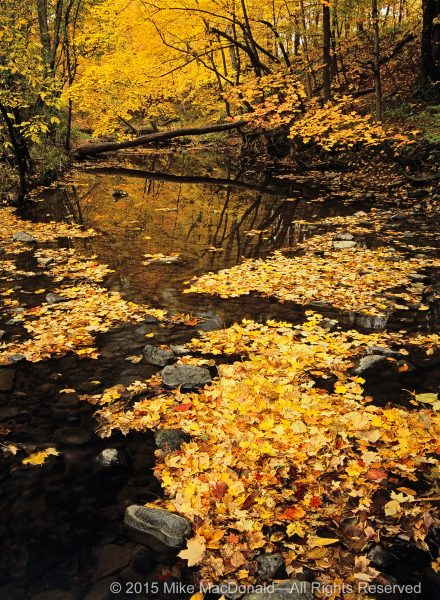 Every October, I am drawn to the banks of Sawmill Creek for the annual celebration of golden maples. On this particular day, the stream turned to a trickle, its rocky bed transformed into the staging area for a colorful, yet peculiar, parade—one that waits for rainfall in order to proceed.*