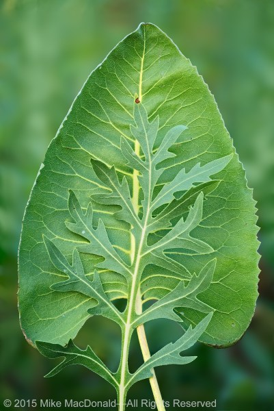 These are the large leaves of the prairie's most iconic plants. The heart-shaped leaf is that of prairie dock, and the long-lobed leaf is from a cousin called compass plant.
