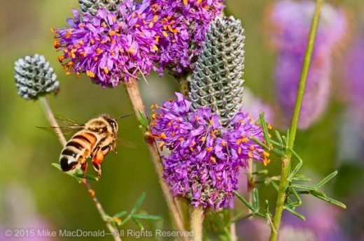 A bee flies over to purple prairie clover at Bluff Spring Fen Nature Preserve in Elgin, Illinois.*
