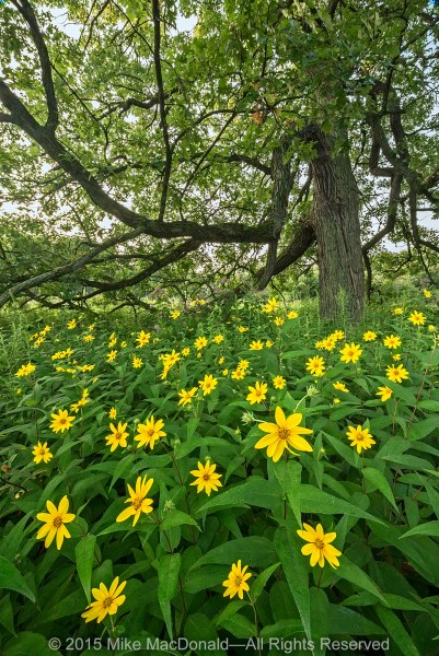 At Somme Prairie Grove, woodland sunflowers surround this majestic bur oak in the savanna.