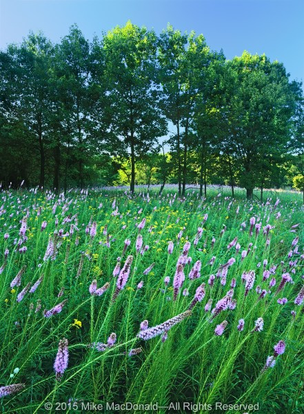 Spears Woods' finest show takes place in the August prairie, when blazing stars shoot toward the sky, leaving behind yellow flames of early goldenrod.*
