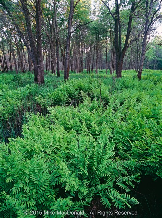 A forest of royal ferns thrives in a wetland that has formed at the base of a high dune.*