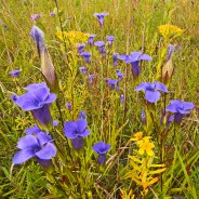 Chicago Wildflower Report & COVID-19 Nature Outings – 09/18/2020