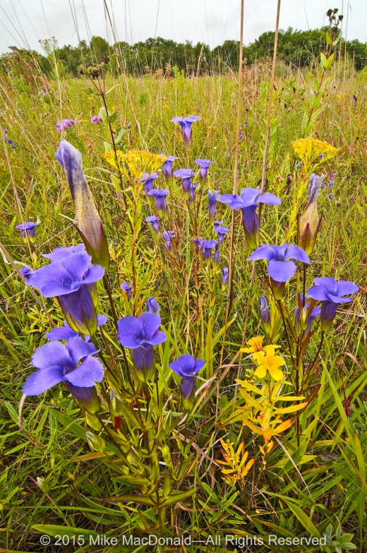 Gorgeous fringed gentians bloom in September. However, the flowers are diurnal, meaning that the the blooms only open up with the sun and are closed at night and, sometimes, on cloudy days.*