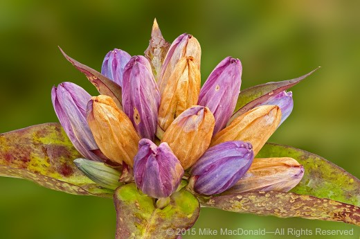 When I first set eyes upon these fading blooms of bottle gentian, I was taken aback, struck by an arrow through my heart. Instantly, I fell in love with the prettiest flowers I had ever seen. Maybe I was just having one of those days, but I was close to tears.*