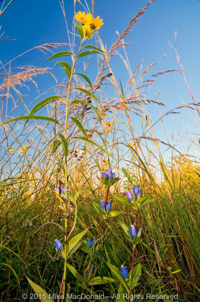 Blue bottle gentians survive under the shadow of the dense September prairie, where plants, like this sawtooth sunflower, can tower twelve feet into the air.*