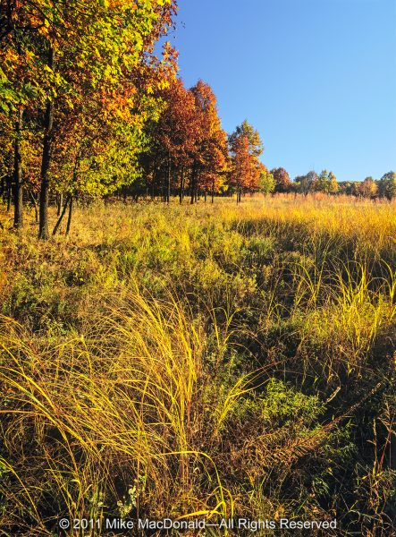 At Spears Woods in Willow Springs, Illinois, where the prairie meets the woodland, late-September grasses turn to gold.*